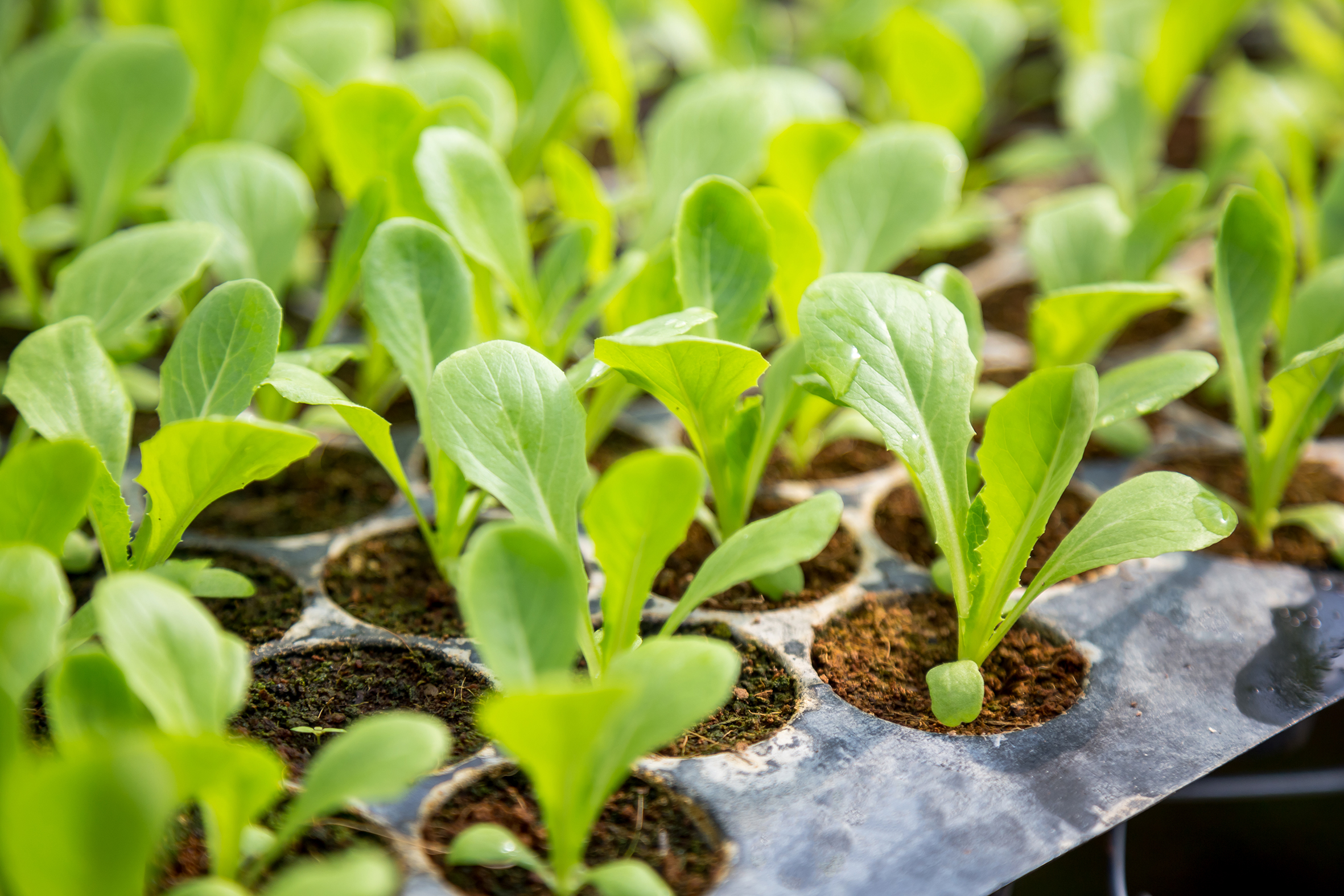 Vegetable seedlings are planted in pots, organic.